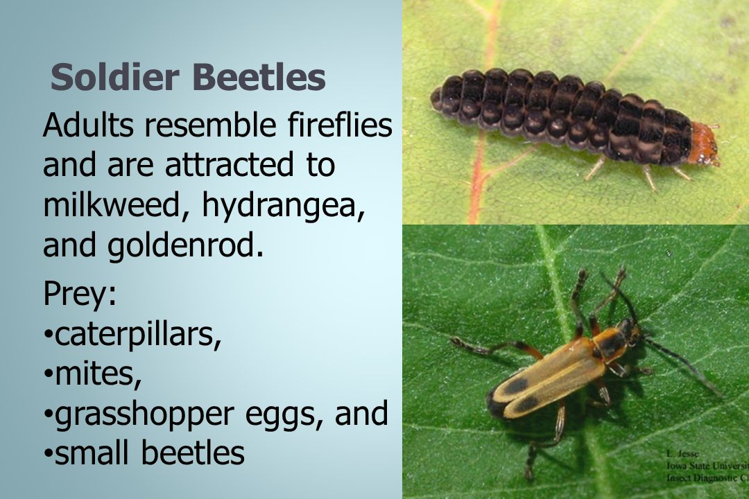 Soldier Beetles Adults resemble fireflies and are attracted to milkweed, hydrangea, and goldenrod. Prey: caterpillars, mites, grasshopper eggs, and sm