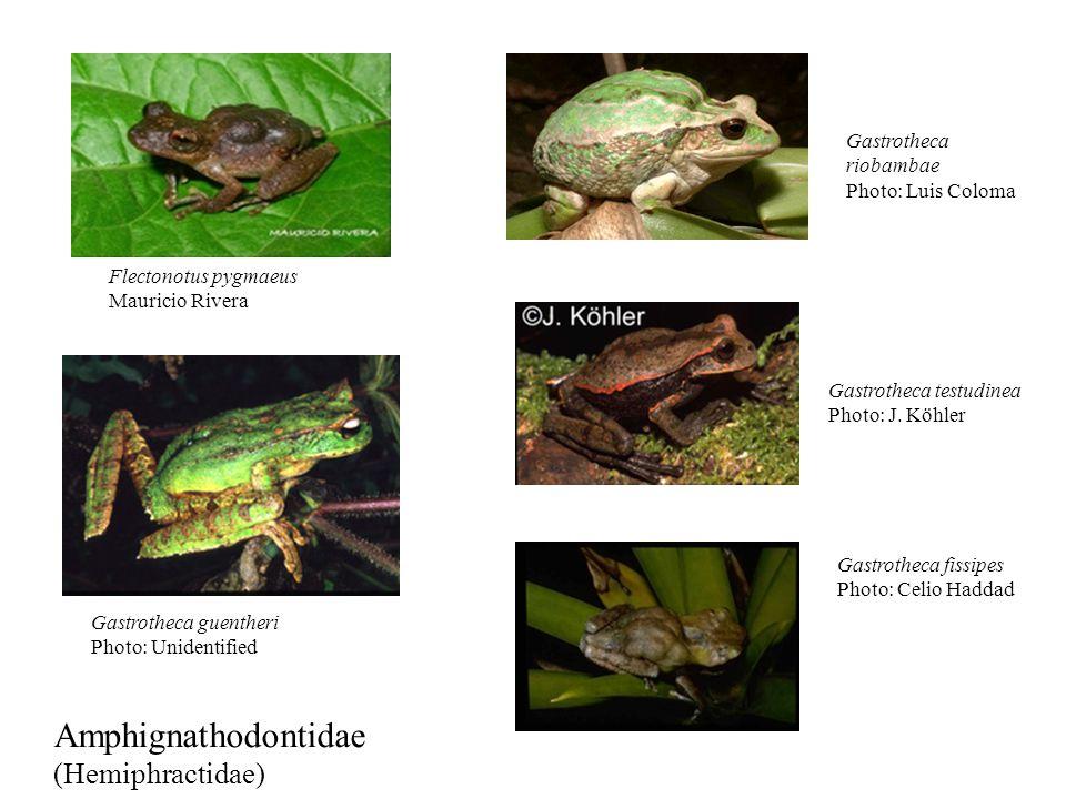 43 of 86 species in the clade. Wiens et al., 2007. Evolution 61:1886- 1899.