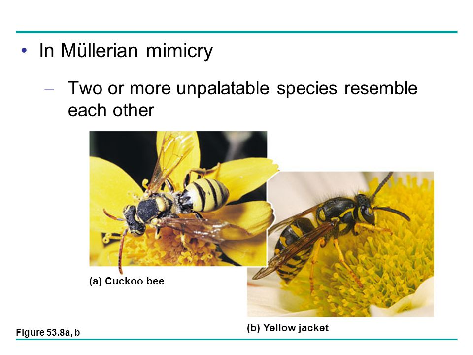 In Müllerian mimicry – Two or more unpalatable species resemble each other (a) Cuckoo bee (b) Yellow jacket Figure 53.8a, b