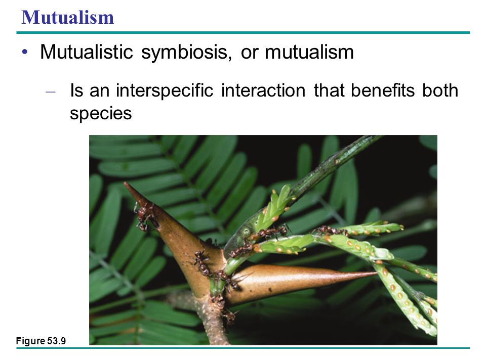Mutualism Mutualistic symbiosis, or mutualism – Is an interspecific interaction that benefits both species Figure 53.9