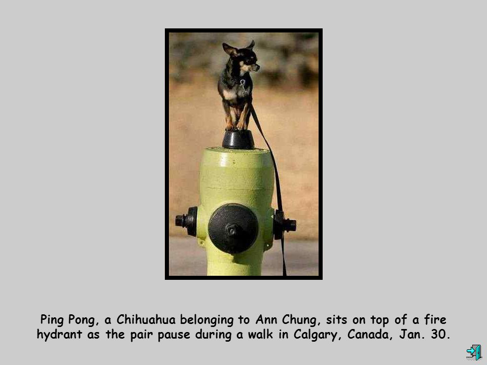 Ping Pong, a Chihuahua belonging to Ann Chung, sits on top of a fire hydrant as the pair pause during a walk in Calgary, Canada, Jan. 30.