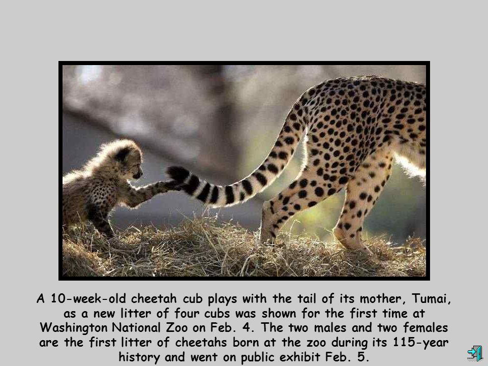 A 10-week-old cheetah cub plays with the tail of its mother, Tumai, as a new litter of four cubs was shown for the first time at Washington National Z