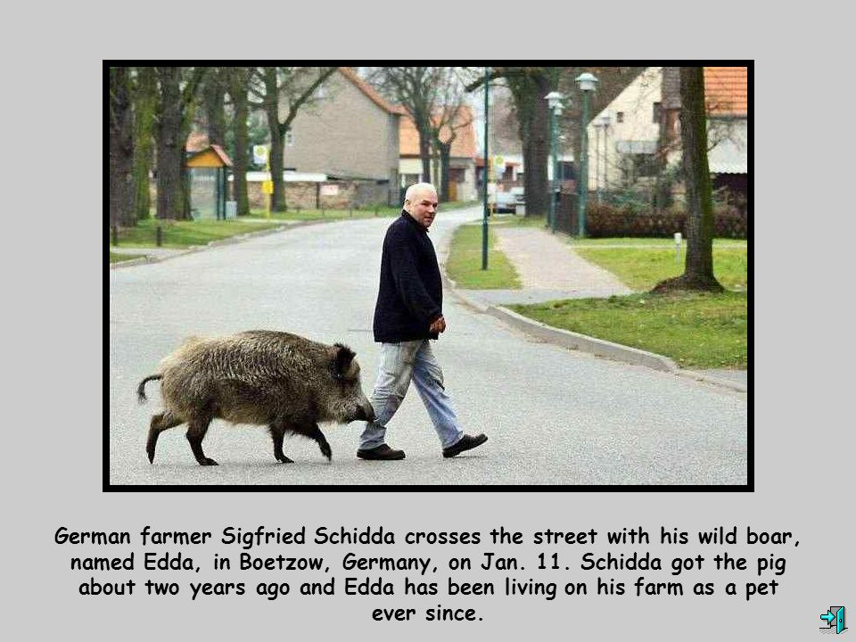 German farmer Sigfried Schidda crosses the street with his wild boar, named Edda, in Boetzow, Germany, on Jan. 11. Schidda got the pig about two years