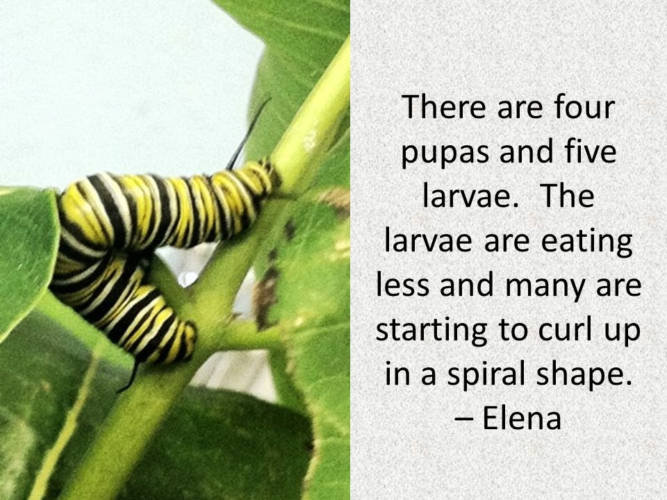 There are four pupas and five larvae. The larvae are eating less and many are starting to curl up in a spiral shape. – Elena
