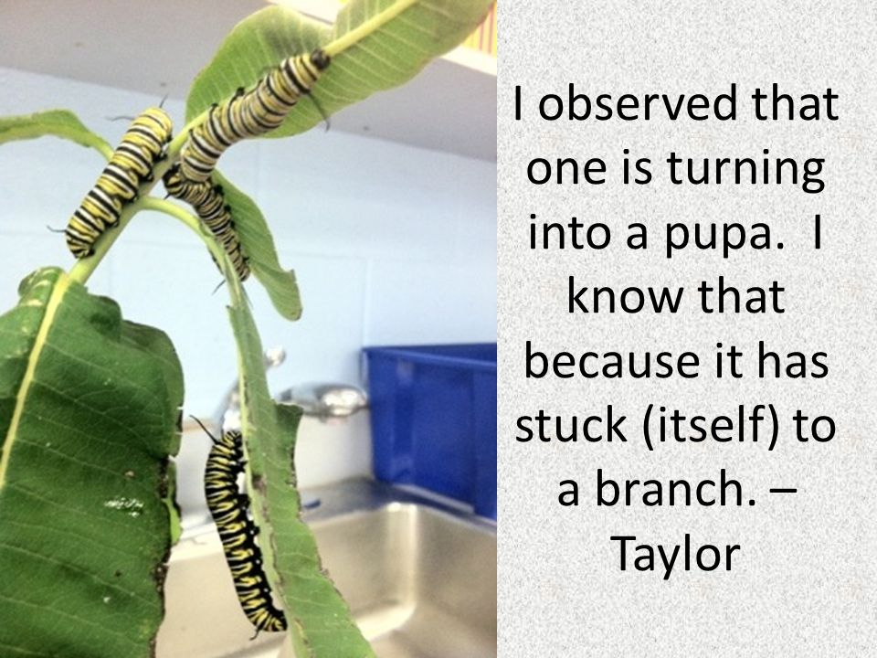 I observed that one is turning into a pupa. I know that because it has stuck (itself) to a branch. – Taylor