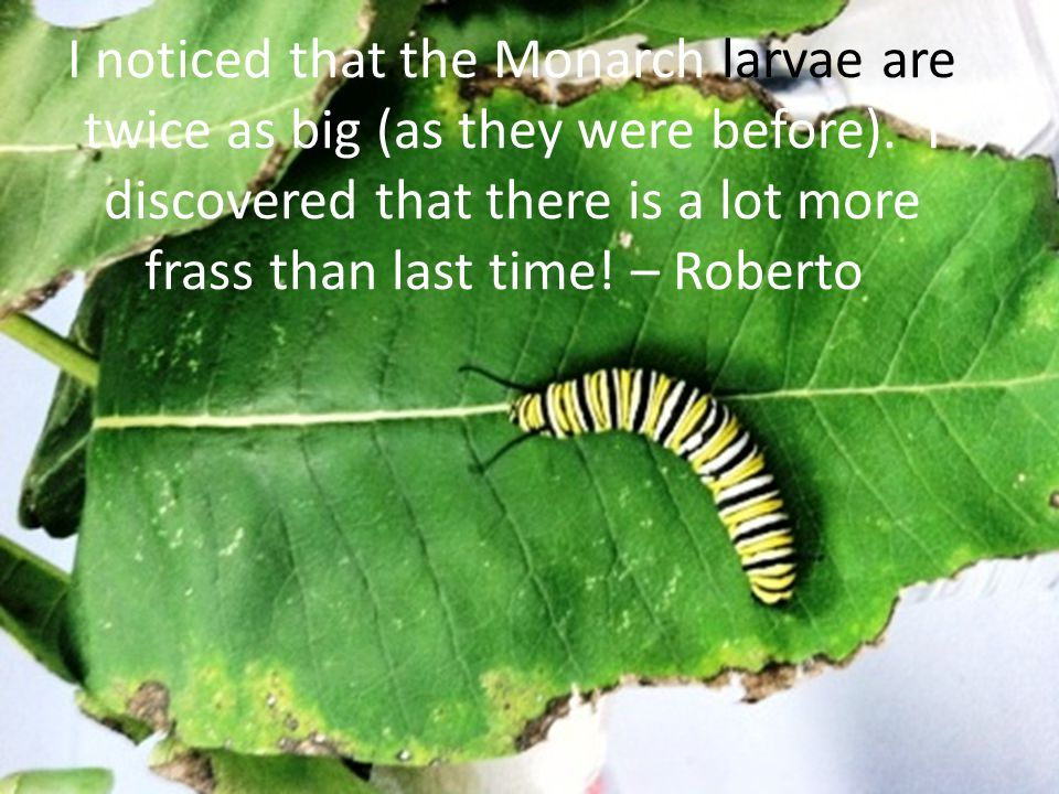 I noticed that the Monarch larvae are twice as big (as they were before). I discovered that there is a lot more frass than last time! – Roberto