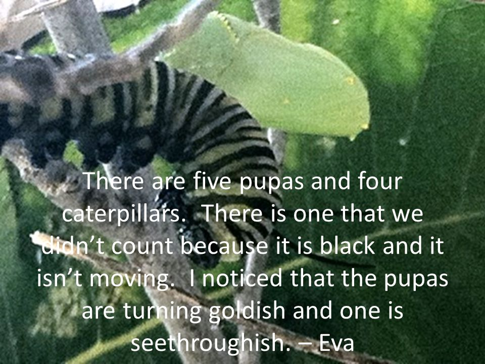 There are five pupas and four caterpillars.