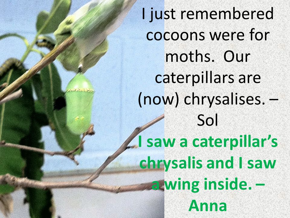 I just remembered cocoons were for moths. Our caterpillars are (now) chrysalises. – Sol I saw a caterpillar's chrysalis and I saw a wing inside. – Ann