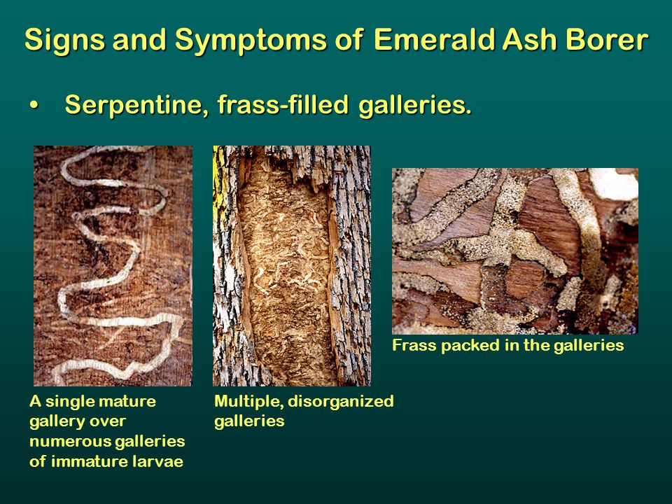 Signs and Symptoms of Emerald Ash Borer Serpentine, frass-filled galleries. Serpentine, frass-filled galleries. Frass packed in the galleries Multiple