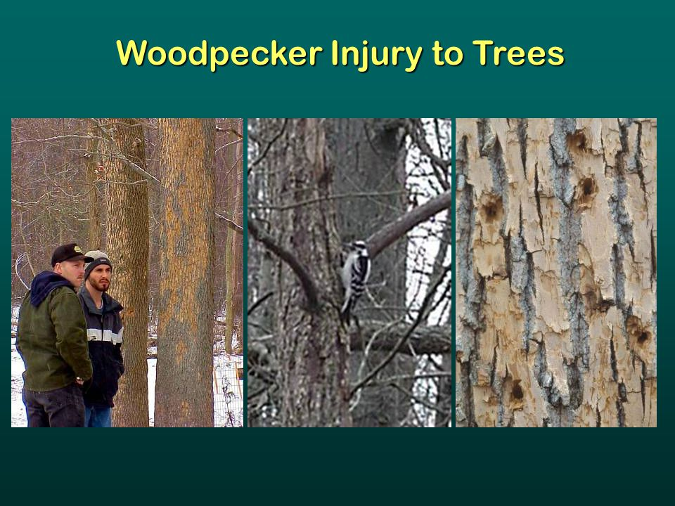Woodpecker Injury to Trees