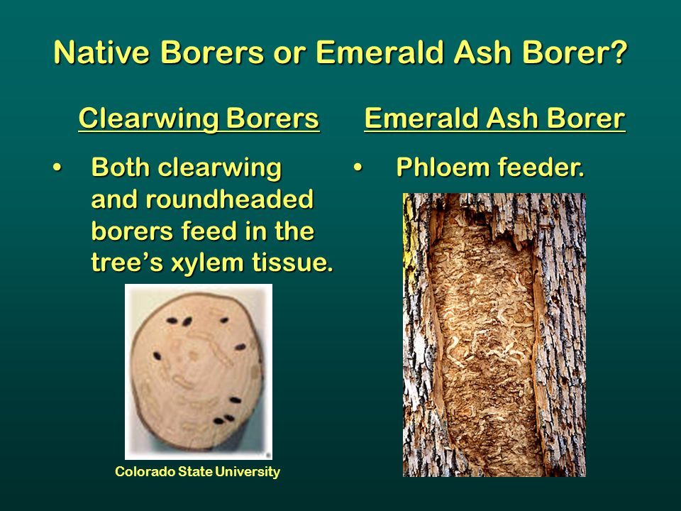 Native Borers or Emerald Ash Borer? Clearwing Borers Both clearwing and roundheaded borers feed in the tree's xylem tissue.Both clearwing and roundhea