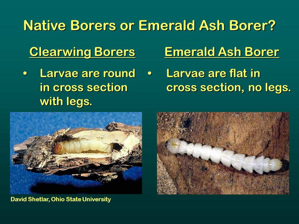 Native Borers or Emerald Ash Borer? Clearwing Borers Larvae are round in cross section with legs. Larvae are round in cross section with legs. Emerald