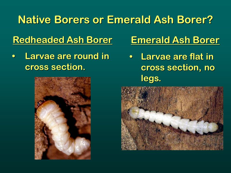 Native Borers or Emerald Ash Borer? Redheaded Ash Borer Larvae are round in cross section.Larvae are round in cross section. Emerald Ash Borer Larvae