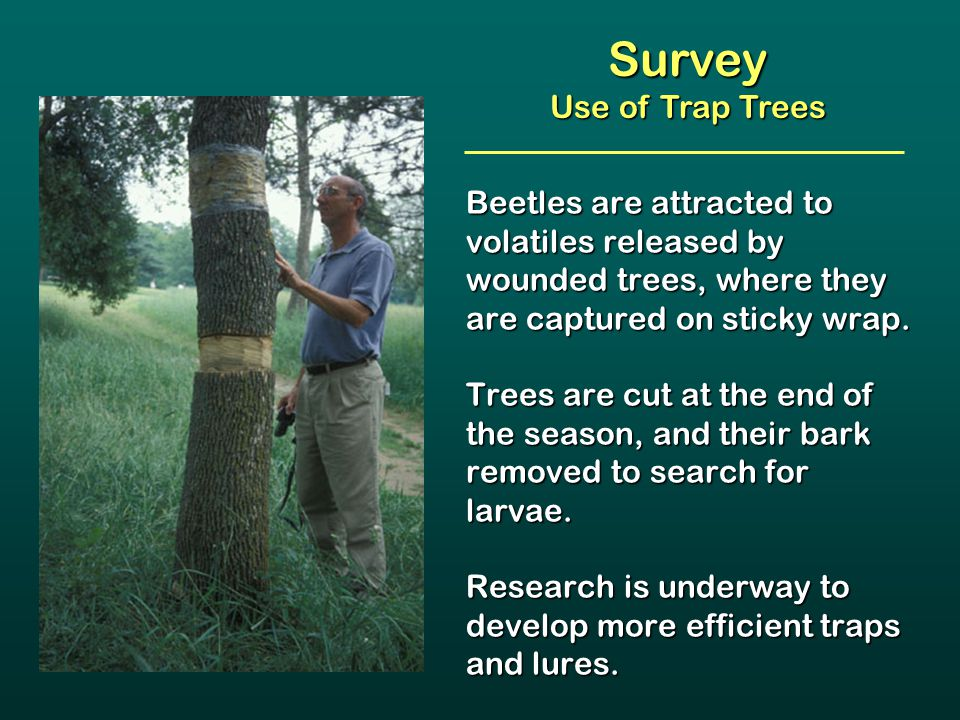 Beetles are attracted to volatiles released by wounded trees, where they are captured on sticky wrap. Trees are cut at the end of the season, and thei