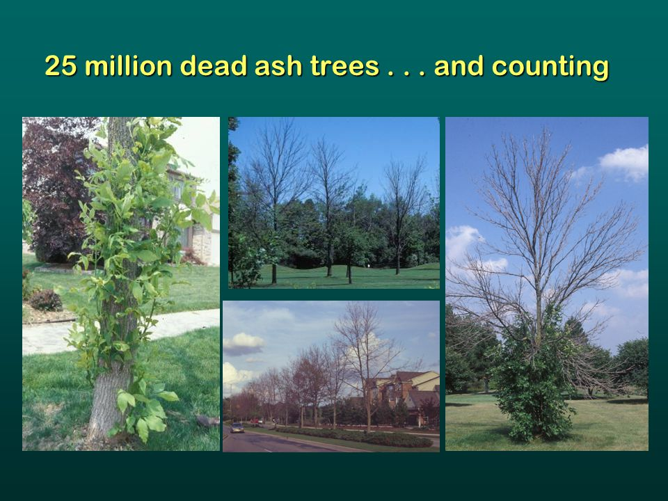 25 million dead ash trees... and counting