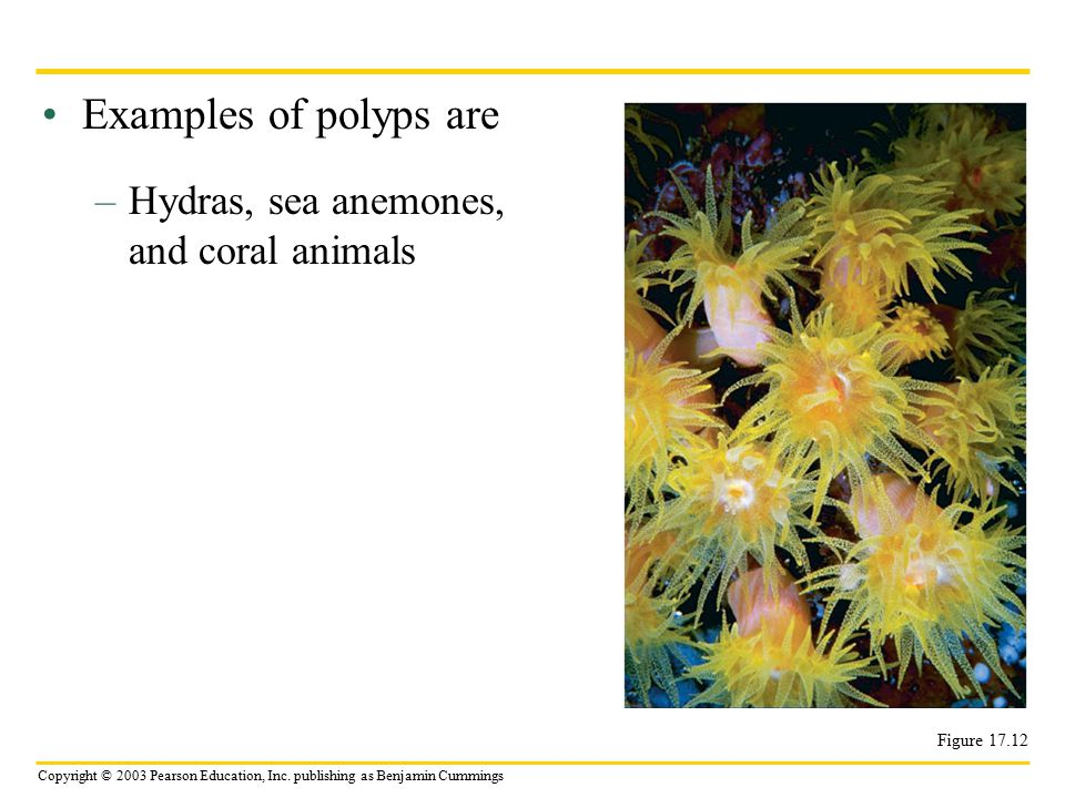 Copyright © 2003 Pearson Education, Inc. publishing as Benjamin Cummings Examples of polyps are –Hydras, sea anemones, and coral animals Figure 17.12