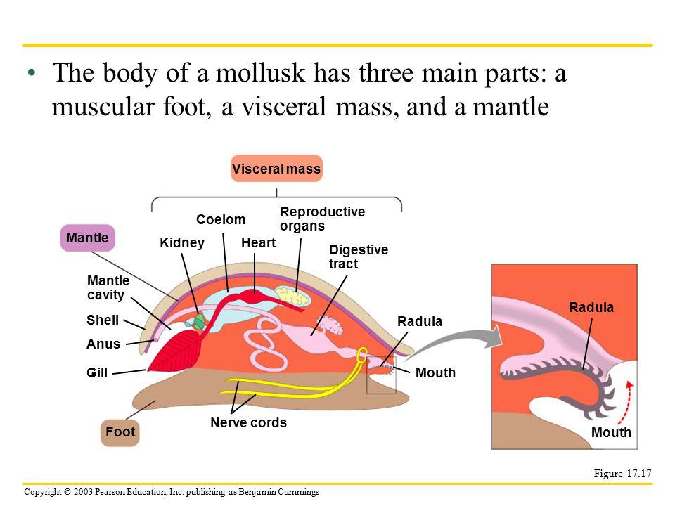 Copyright © 2003 Pearson Education, Inc. publishing as Benjamin Cummings The body of a mollusk has three main parts: a muscular foot, a visceral mass,