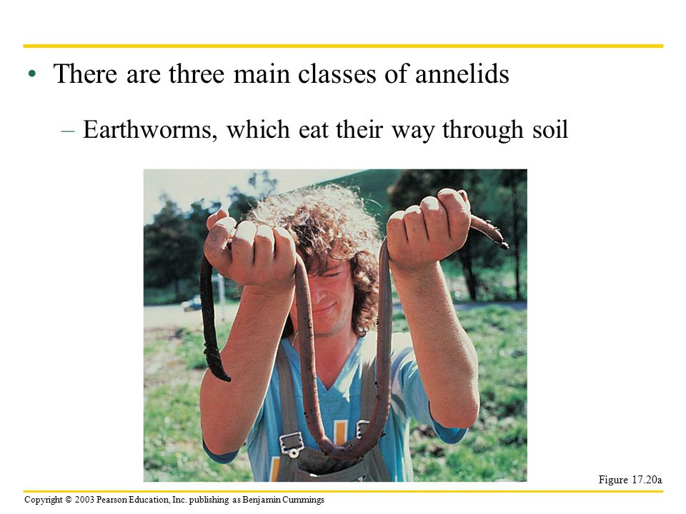 Copyright © 2003 Pearson Education, Inc. publishing as Benjamin Cummings There are three main classes of annelids –Earthworms, which eat their way thr