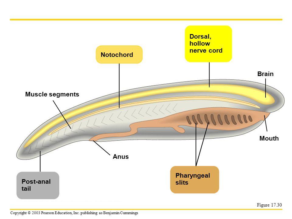 Copyright © 2003 Pearson Education, Inc. publishing as Benjamin Cummings Figure 17.30 Muscle segments Post-anal tail Notochord Anus Dorsal, hollow ner