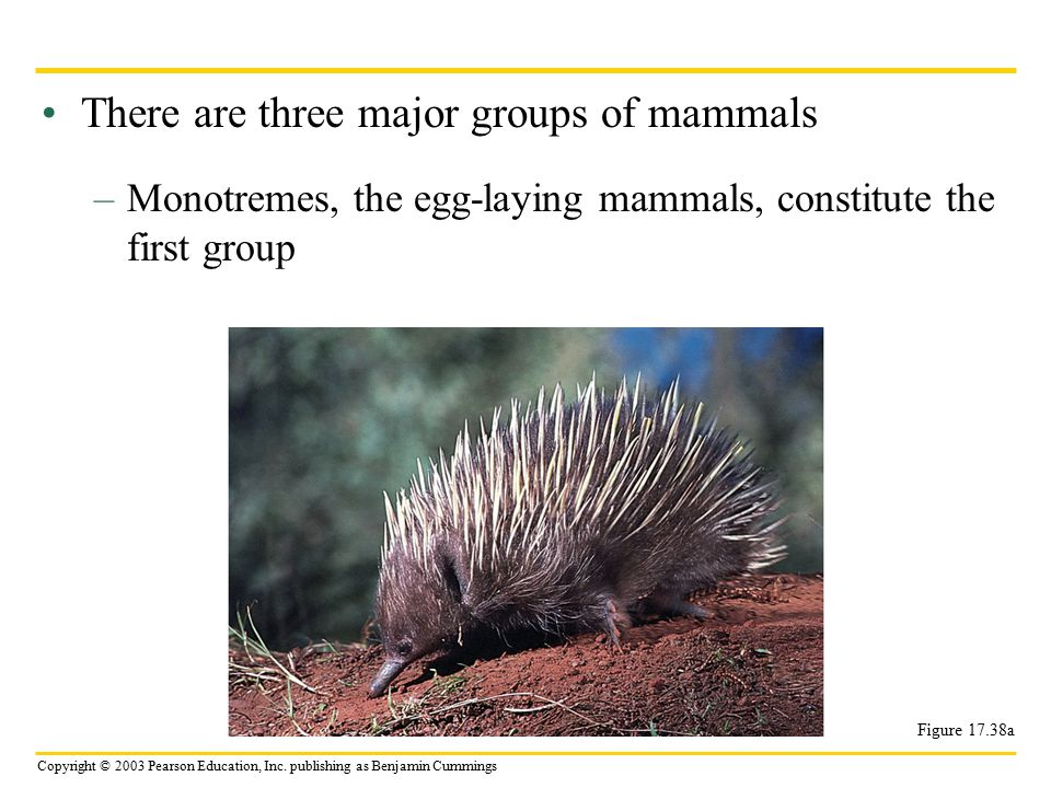 Copyright © 2003 Pearson Education, Inc. publishing as Benjamin Cummings There are three major groups of mammals –Monotremes, the egg-laying mammals,