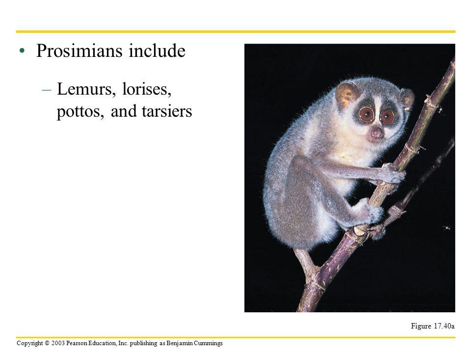 Copyright © 2003 Pearson Education, Inc. publishing as Benjamin Cummings Prosimians include –Lemurs, lorises, pottos, and tarsiers Figure 17.40a