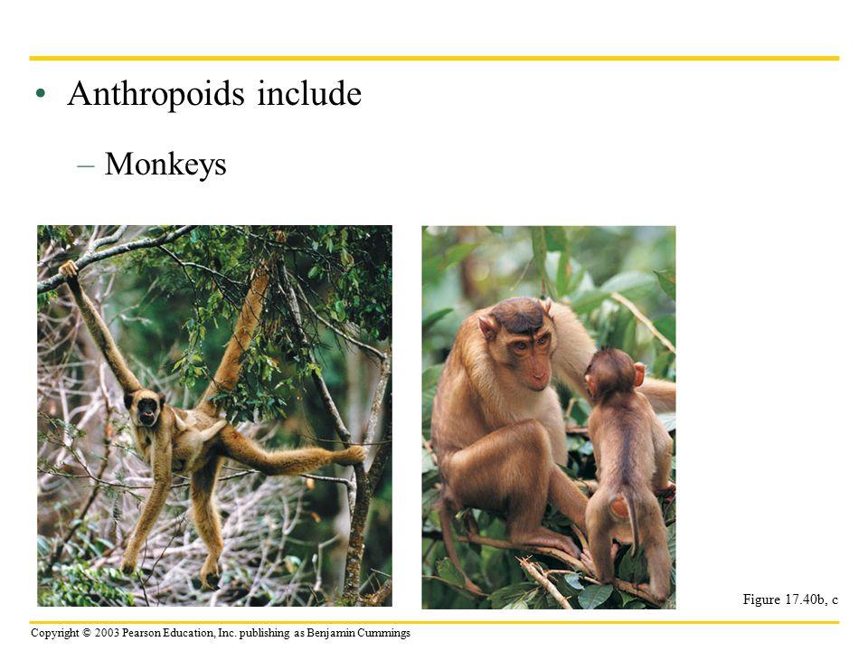 Copyright © 2003 Pearson Education, Inc. publishing as Benjamin Cummings Anthropoids include –Monkeys Figure 17.40b, c