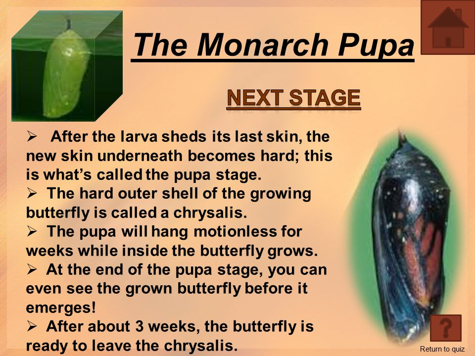 The Monarch Larva  The Larva stage is what we call a caterpillar.