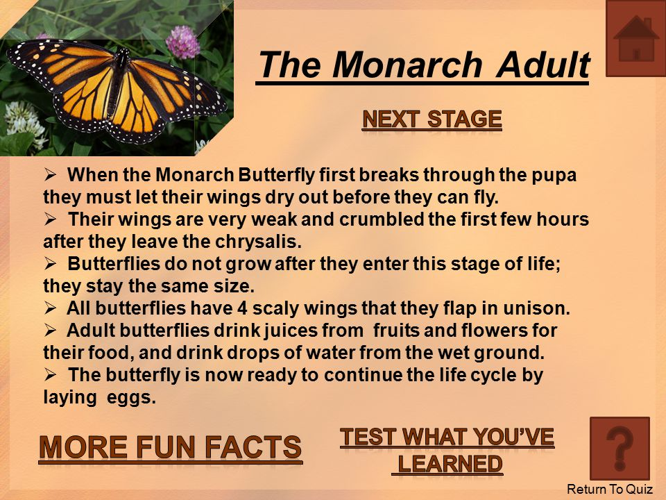 The Monarch Pupa  After the larva sheds its last skin, the new skin underneath becomes hard; this is what's called the pupa stage.