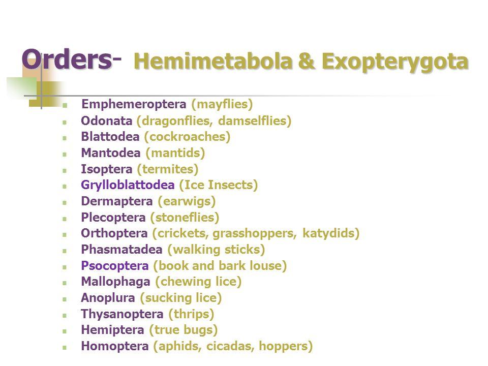 Orders Hemimetabola & Exopterygota Orders - Hemimetabola & Exopterygota Emphemeroptera (mayflies) Odonata (dragonflies, damselflies) Blattodea (cockro