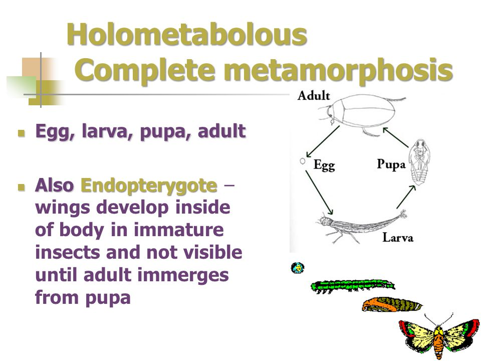 Holometabolous Complete metamorphosis Egg, larva, pupa, adult Egg, larva, pupa, adult Also Endopterygote Also Endopterygote – wings develop inside of