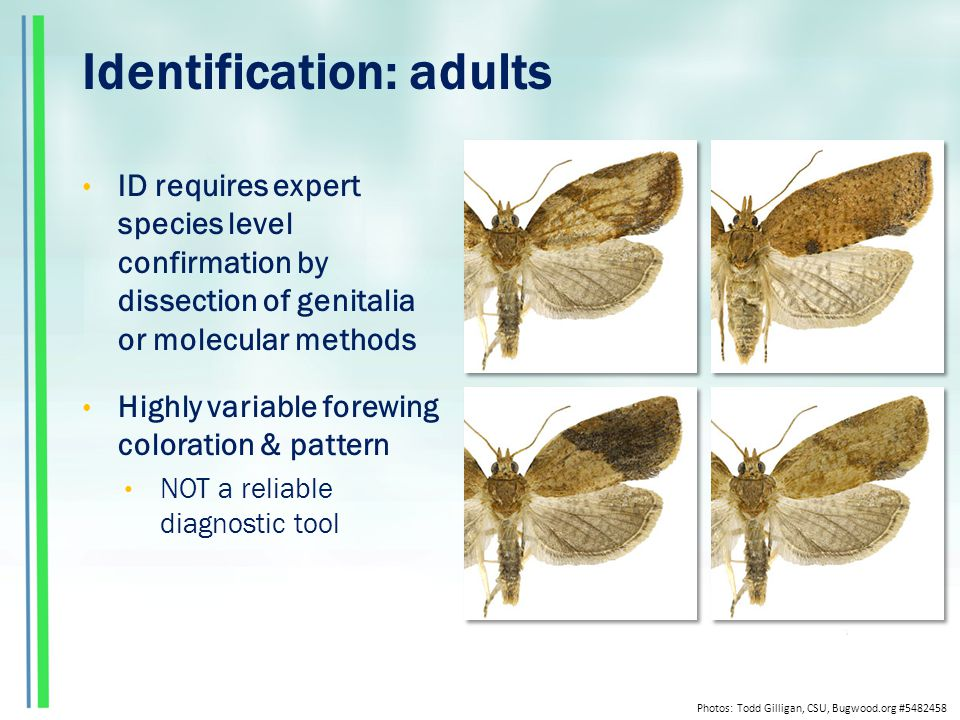 Identification: adults ID requires expert species level confirmation by dissection of genitalia or molecular methods Highly variable forewing coloration & pattern NOT a reliable diagnostic tool Photos: Todd Gilligan, CSU, Bugwood.org #5482458