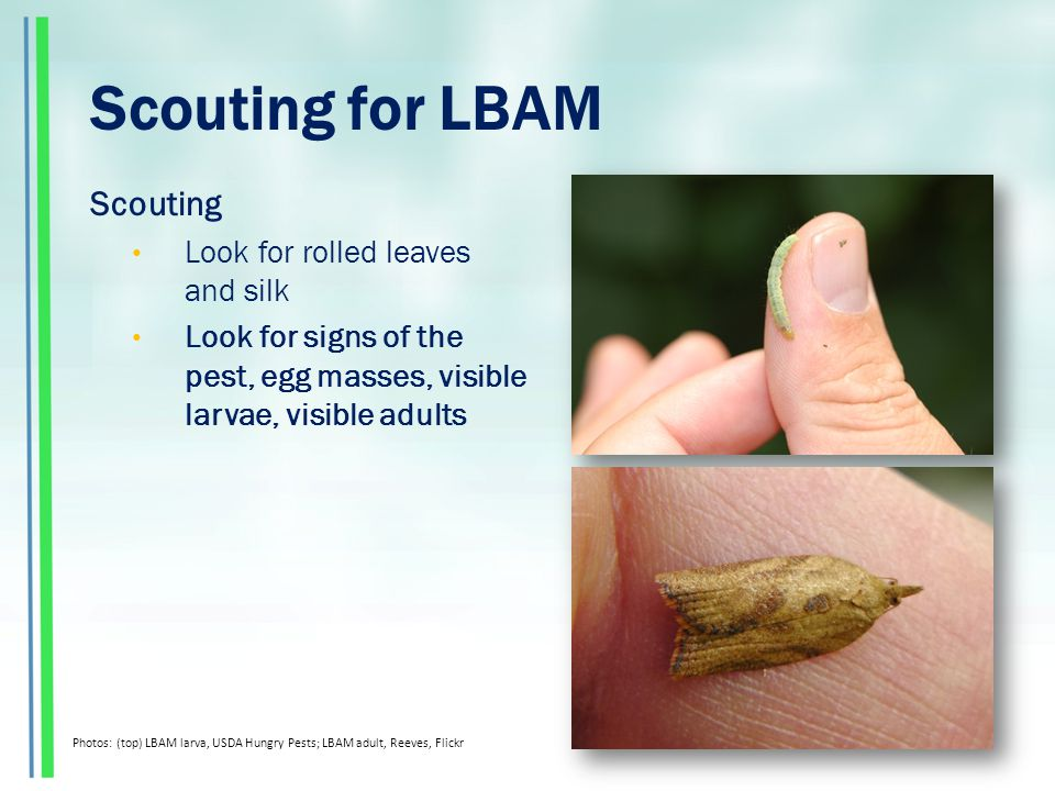 Scouting for LBAM Scouting Look for rolled leaves and silk Look for signs of the pest, egg masses, visible larvae, visible adults Photos: (top) LBAM larva, USDA Hungry Pests; LBAM adult, Reeves, Flickr