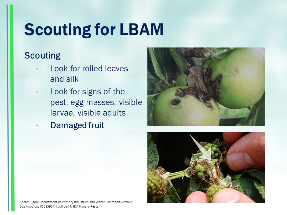 Scouting for LBAM Scouting Look for rolled leaves and silk Look for signs of the pest, egg masses, visible larvae, visible adults Damaged fruit Photos: (top) Department of Primary Industries and Water, Tasmania Archive, Bugwood.org #5385954; (bottom) USDA Hungry Pests.