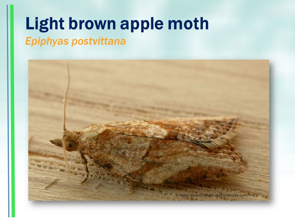 Light brown apple moth Epiphyas postvittana Photo: Donald Hobern, 2008 wikimedia commons