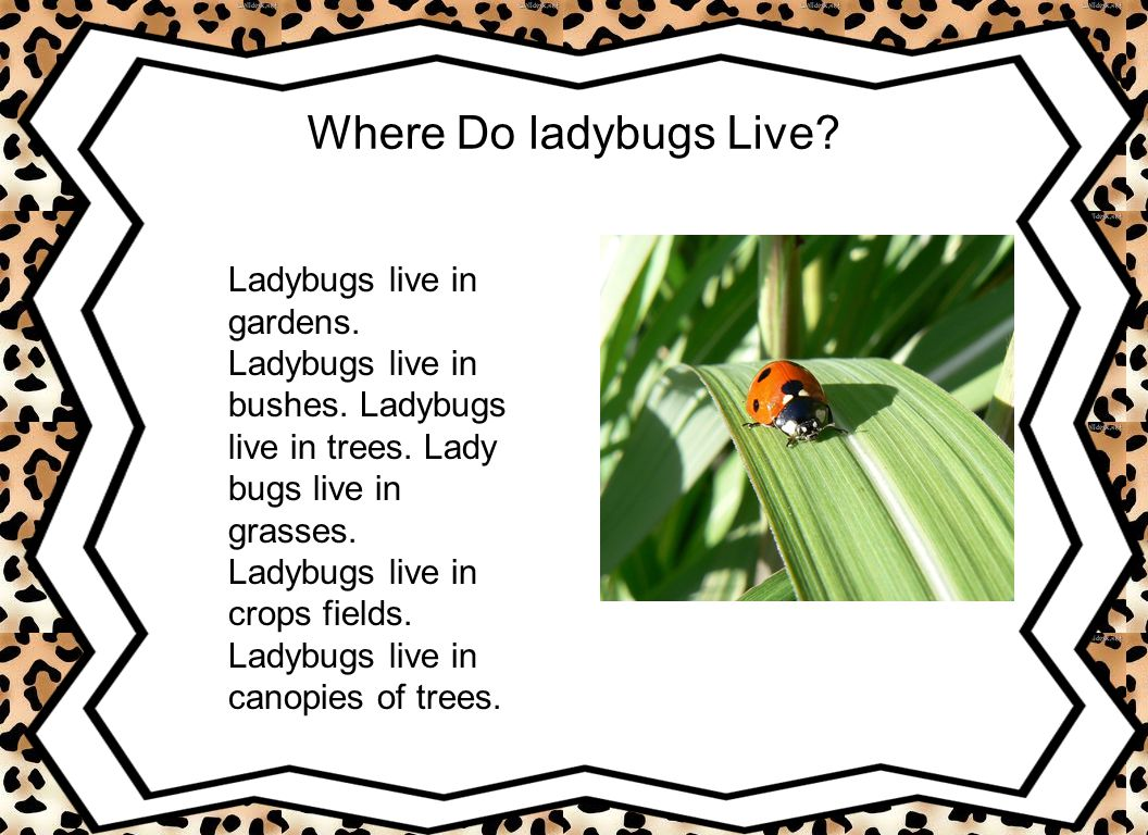 Where Do ladybugs Live? Ladybugs live in gardens. Ladybugs live in bushes. Ladybugs live in trees. Lady bugs live in grasses. Ladybugs live in crops f