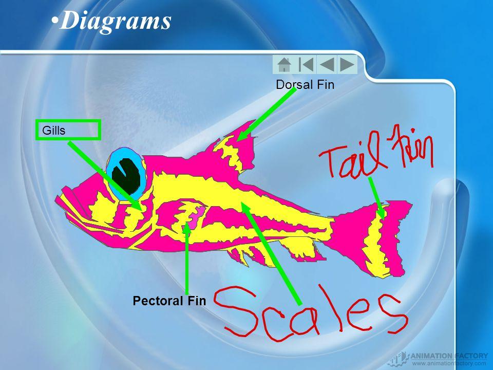 Diagrams Dorsal Fin Pectoral Fin Gills