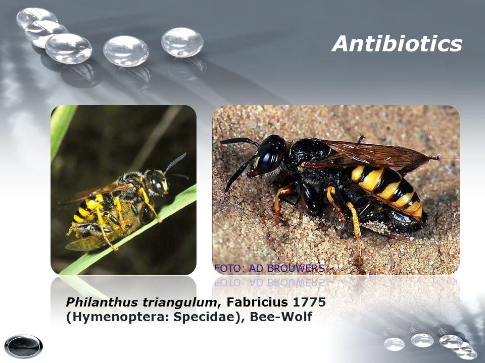 Philanthus triangulum, Fabricius 1775 (Hymenoptera: Specidae), Bee-Wolf Antibiotics