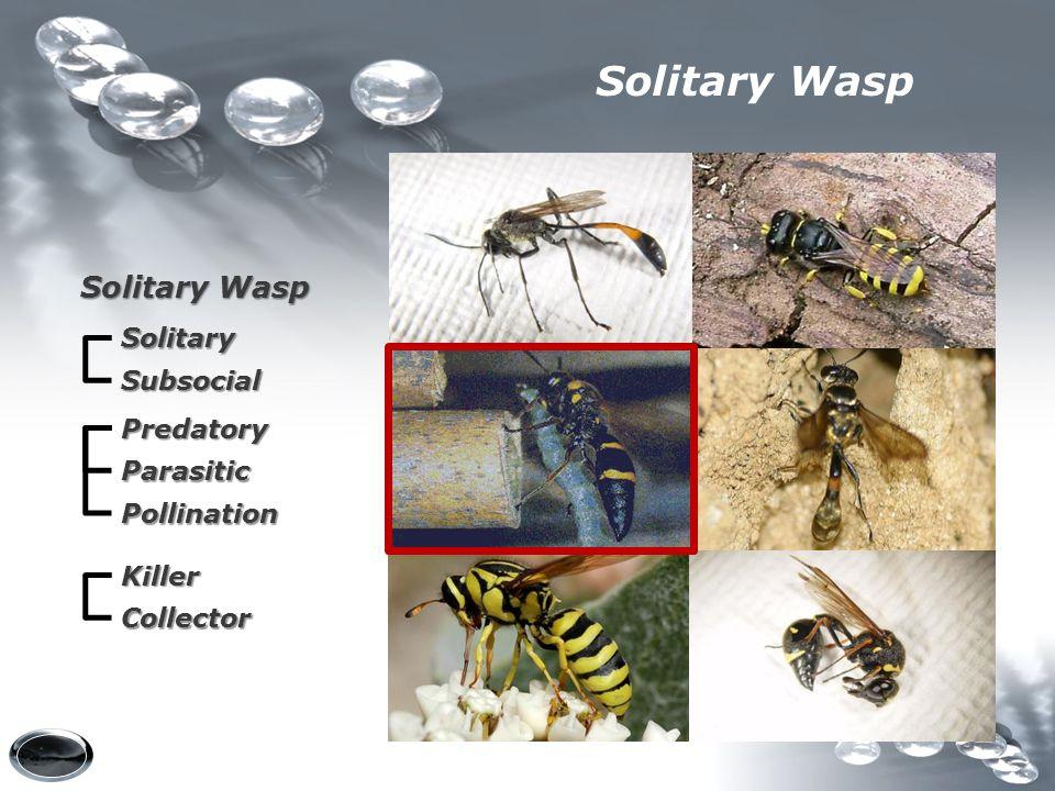 Solitary Wasp Solitary Subsocial Predatory Parasitic Pollination Killer Collector