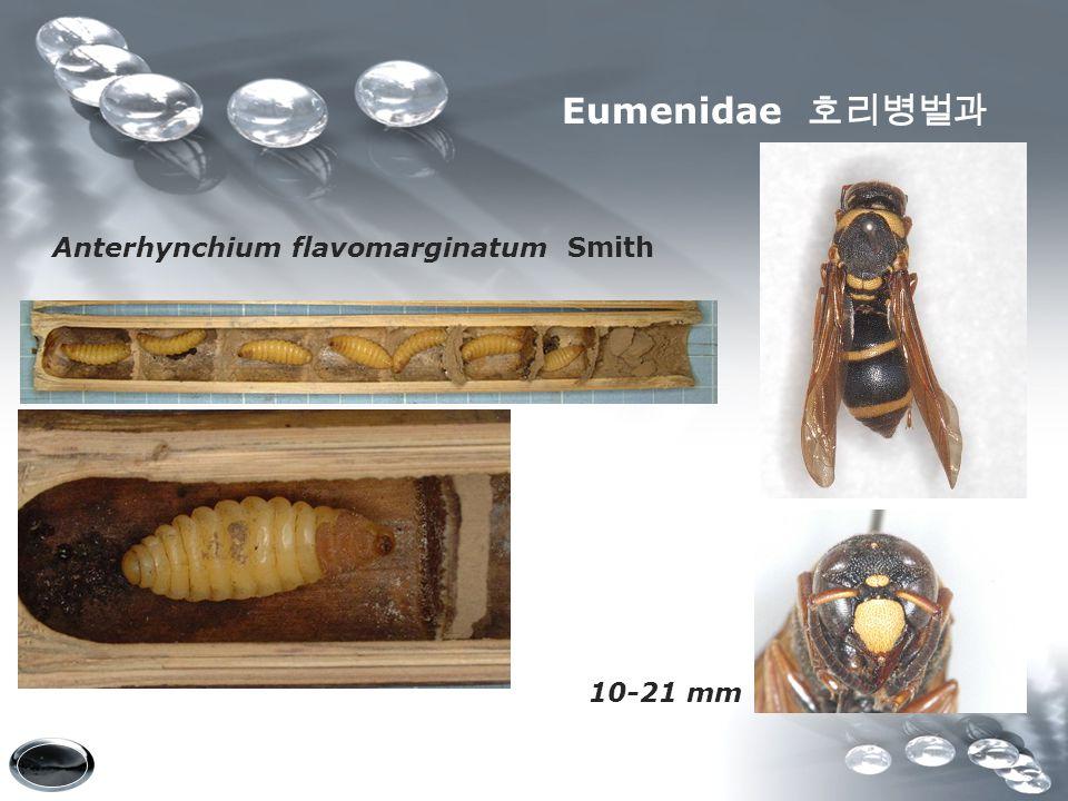 Anterhynchium flavomarginatum Smith 10-21 mm Eumenidae 호리병벌과