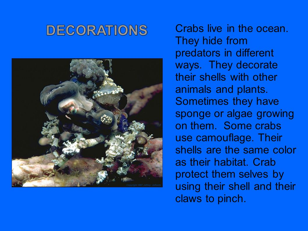 Crabs live in the ocean. They hide from predators in different ways. They decorate their shells with other animals and plants. Sometimes they have spo