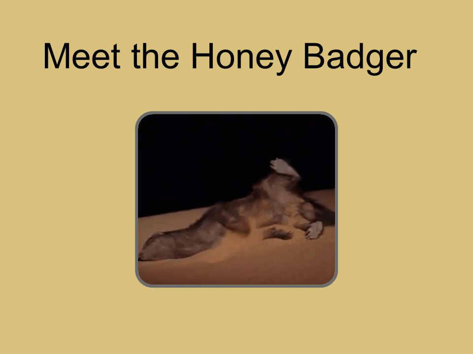 Meet the Honey Badger