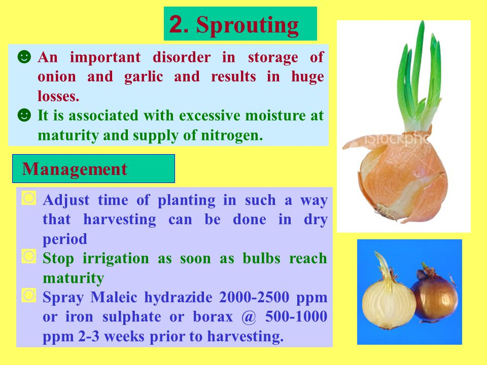 2. Sprouting ☻ An important disorder in storage of onion and garlic and results in huge losses.