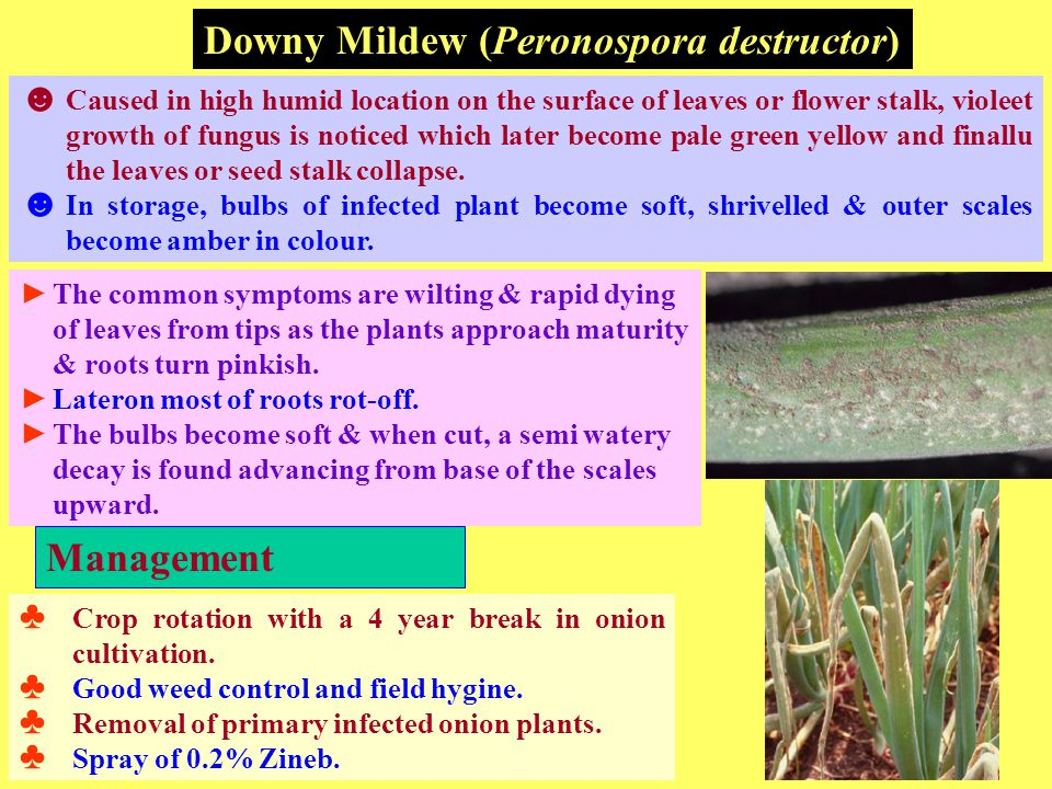 Downy Mildew (Peronospora destructor) ☻ Caused in high humid location on the surface of leaves or flower stalk, violeet growth of fungus is noticed which later become pale green yellow and finallu the leaves or seed stalk collapse.