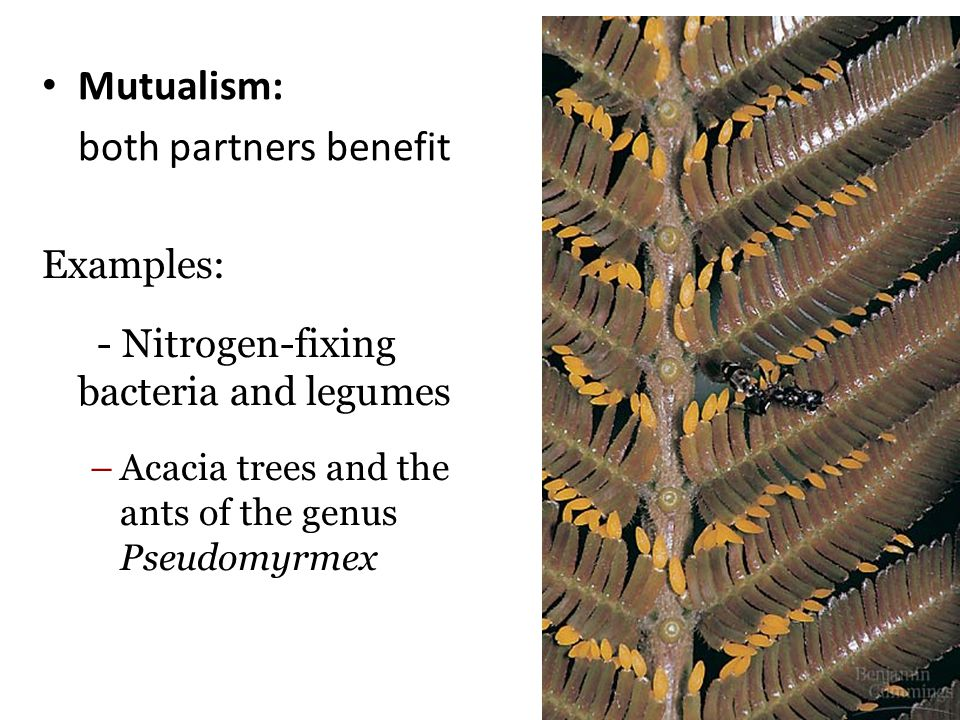 Mutualism: both partners benefit Examples: - Nitrogen-fixing bacteria and legumes –Acacia trees and the ants of the genus Pseudomyrmex Figure 36.5B