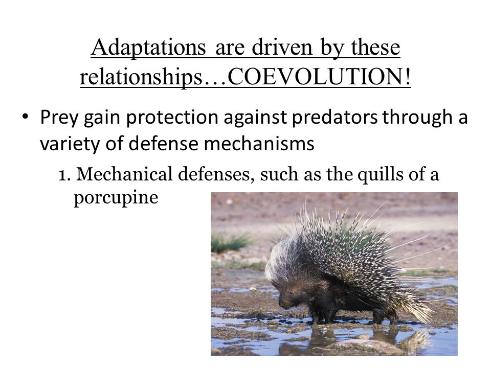 Prey gain protection against predators through a variety of defense mechanisms 1. Mechanical defenses, such as the quills of a porcupine Adaptations a