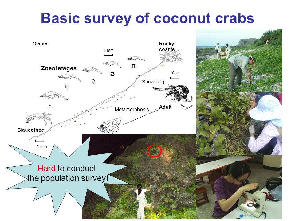 Basic survey of coconut crabs 1 mm  10cm Zoeal stages Glaucothoe Juvinile crab 1 mm Metamorphosis Spawning Adult      Rocky coasts Ocean Hard to conduct the population survey!