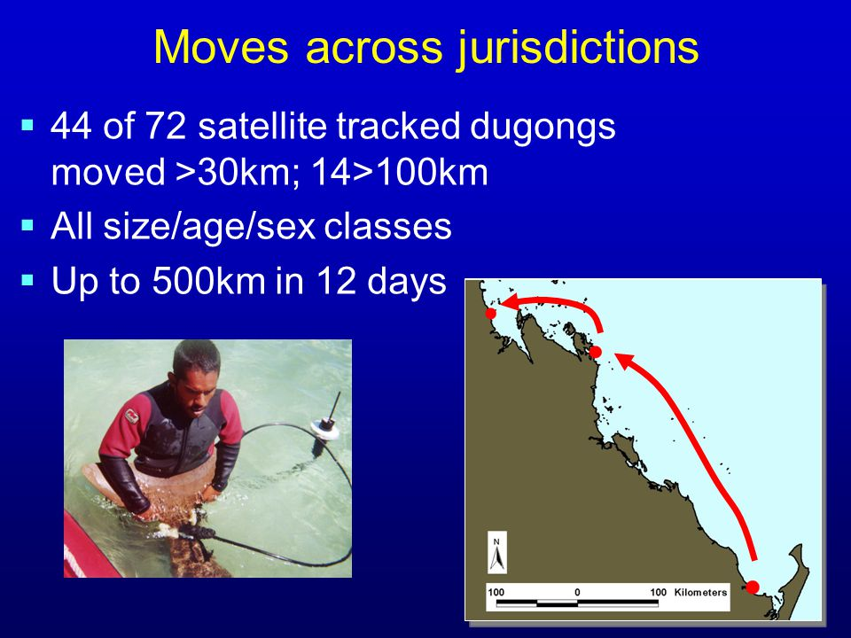  44 of 72 satellite tracked dugongs moved >30km; 14>100km  All size/age/sex classes  Up to 500km in 12 days Moves across jurisdictions