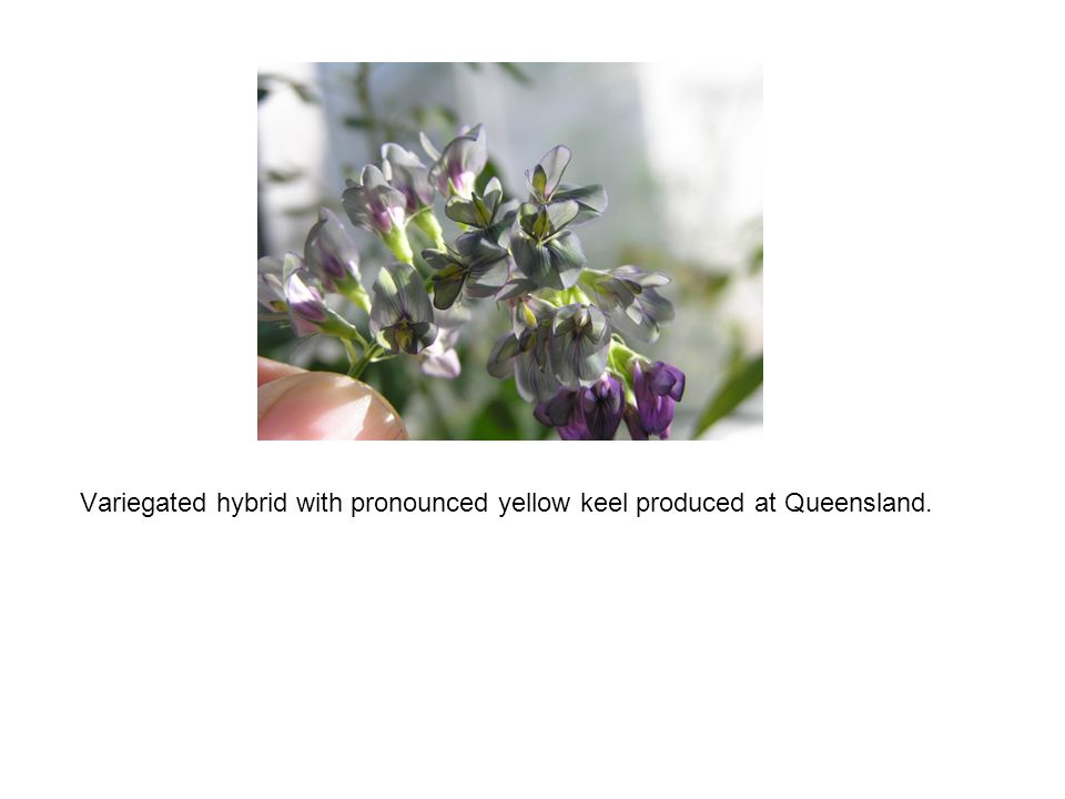 Variegated hybrid with pronounced yellow keel produced at Queensland.