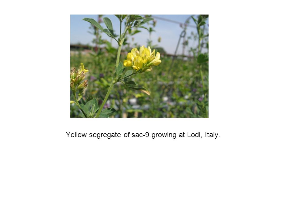 Yellow segregate of sac-9 growing at Lodi, Italy.