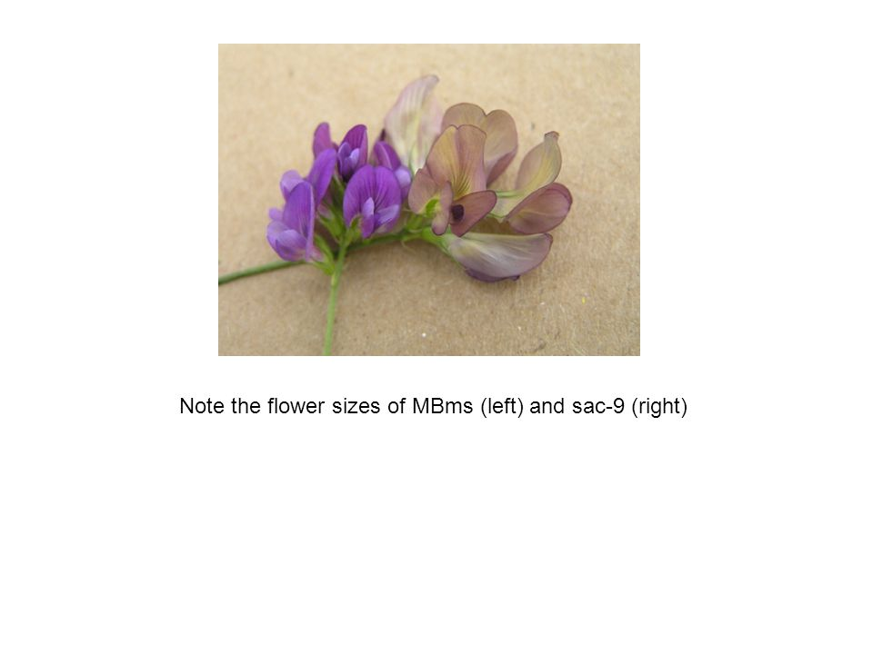 Note the flower sizes of MBms (left) and sac-9 (right)